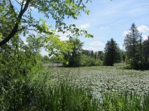 Pond (summer, filled with water lilies)