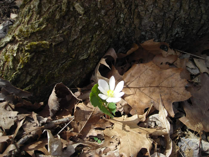 Picture of bloodroot flower